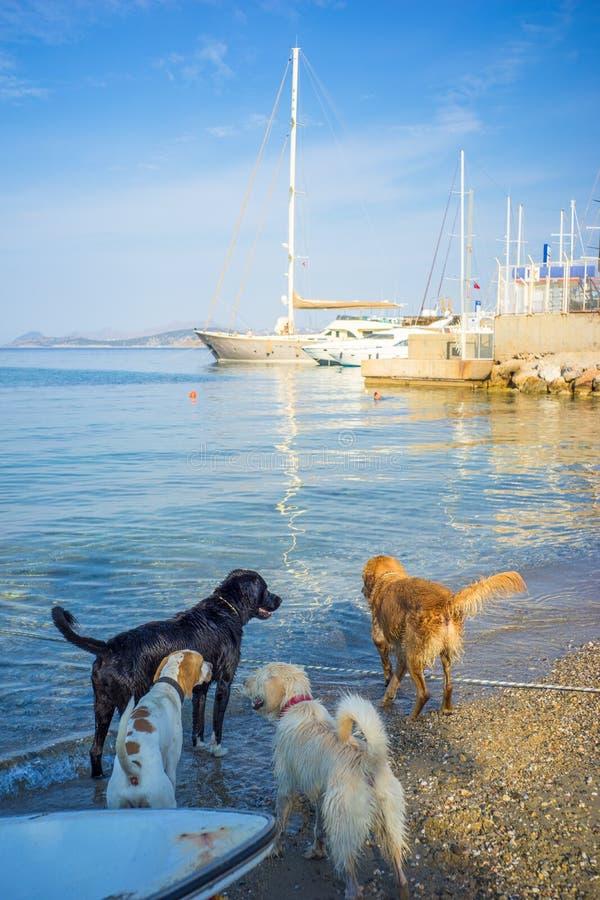 Chiens jouant sur la plage de mer Égée de matin photographie stock