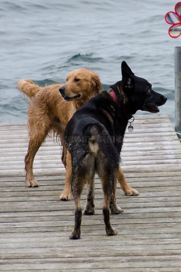 Chiens jouant sur le dock au lac photos libres de droits