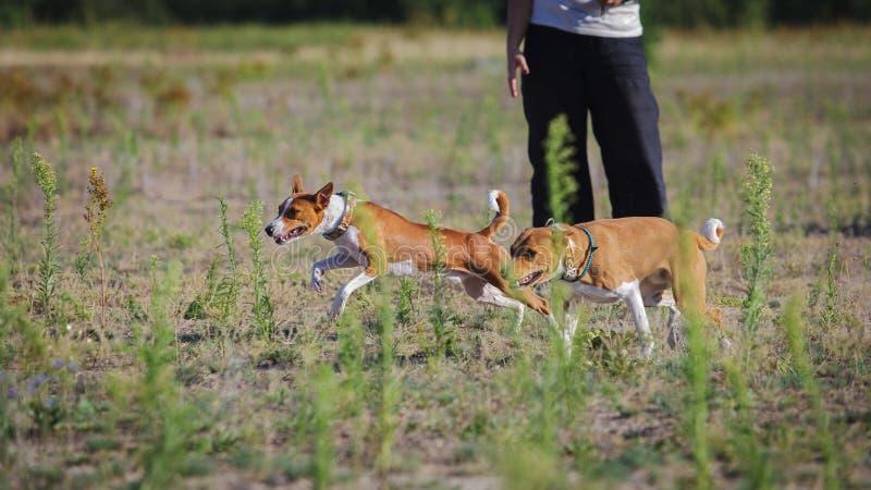 Chiens oursing de ¡ de Ð Le chien de Basenji fonctionne après l'amorce sur le champ image stock