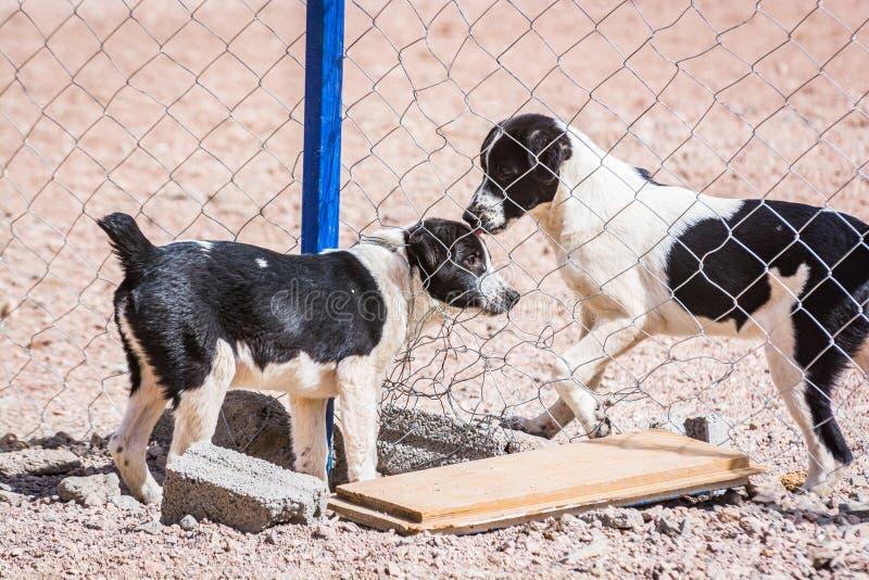 Chiens protégés contre le massacre et l'empoisonnement dans l'abri de chien dans Aqaba, Jordanie images libres de droits