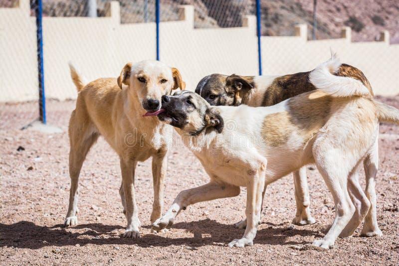 Chiens protégés contre le massacre et l'empoisonnement dans l'abri de chien dans Aqaba, Jordanie photographie stock libre de droits