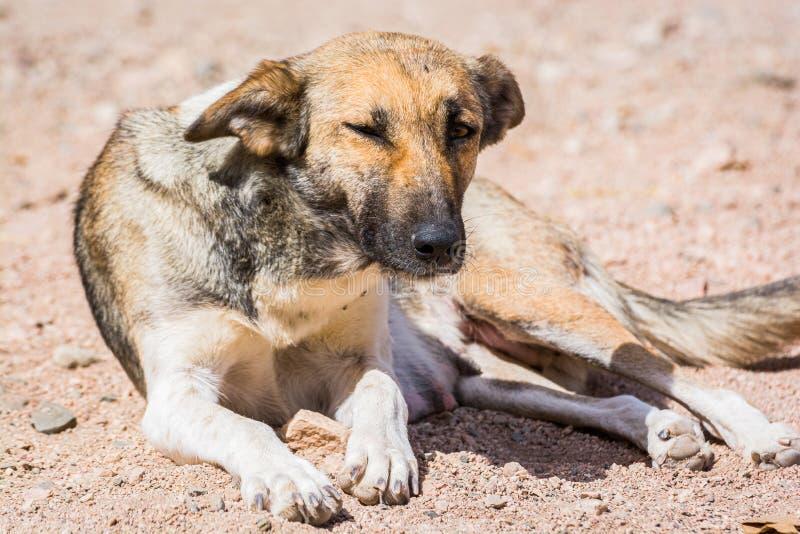 Chiens protégés contre le massacre et l'empoisonnement dans l'abri de chien dans Aqaba, Jordanie photo stock