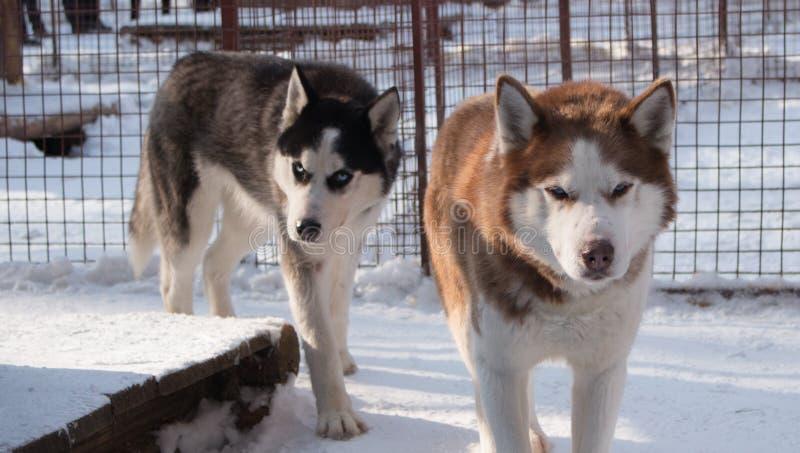 chiens sérieux images libres de droits