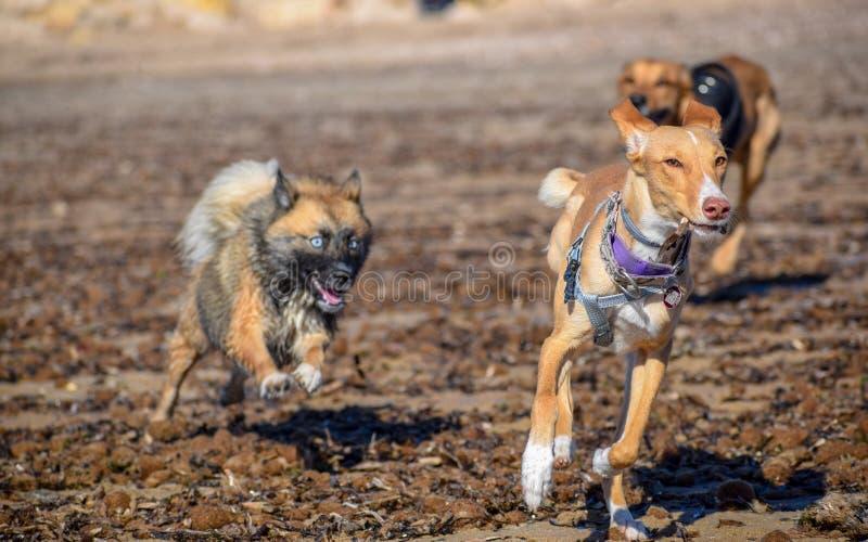 chiens se chassant sur la plage photographie stock libre de droits