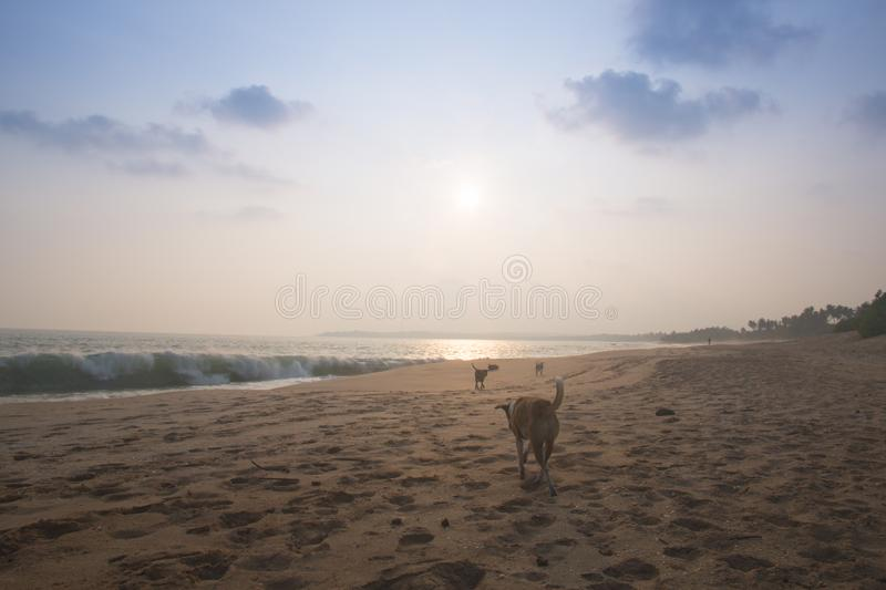 Chiens sur la plage de Tangalle, Sri Lanka photos stock