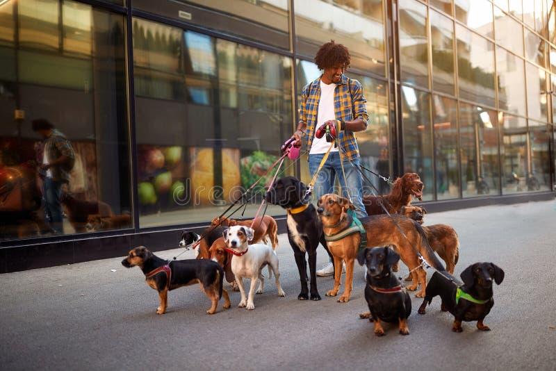 Chiens sur les rues sur la laisse avec le marcheur professionnel de chien de l'homme photo libre de droits