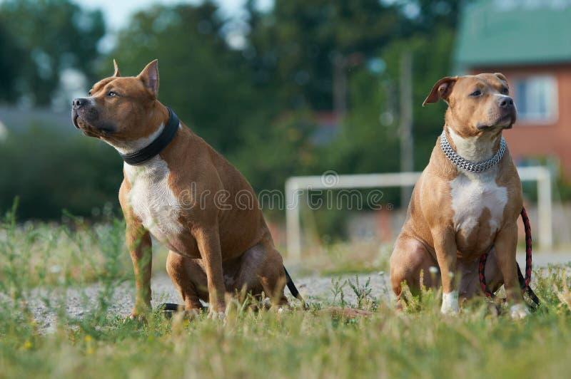 chiens terriers américains du Staffordshire de couples photo libre de droits