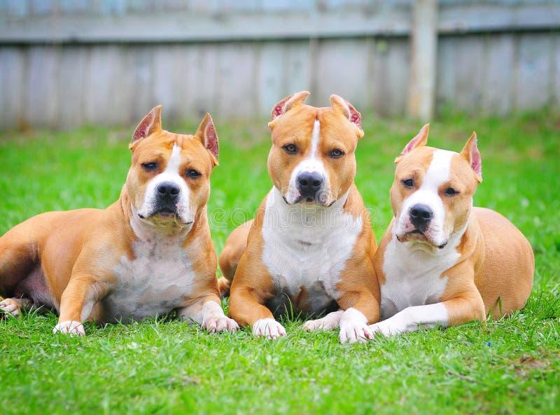 Chiens terriers de Staffordshire américain photos libres de droits