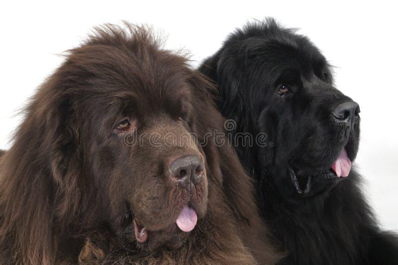 Chiens terriers de Terre-Neuve photographie stock