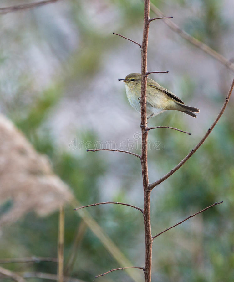 Download Chiffchaff stock image. Image of fragile, insectivorous - 29016505