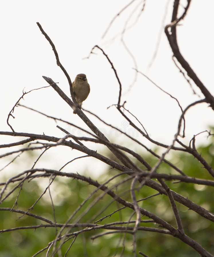 Download Chiffchaff stock photo. Image of fragile, emporda, insectivorous - 29052232