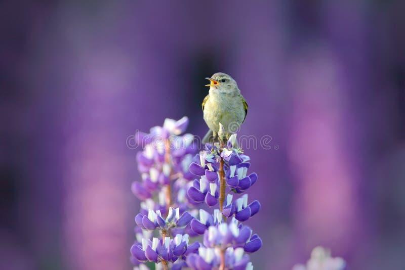 Chiffchaff comum, collybita do Phylloscopus, canto do canto na flor violeta bonita do Lupinus Pássaro no hábito do prado da natur foto de stock royalty free