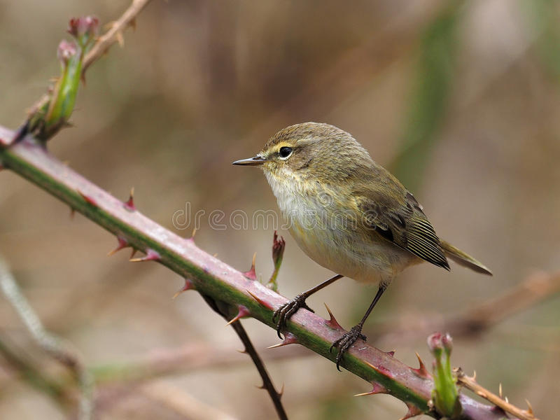 Chiffchaff - Phylloscopus-collybita royalty-vrije stock foto