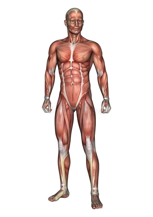 Chiffre masculin d'anatomie illustration stock