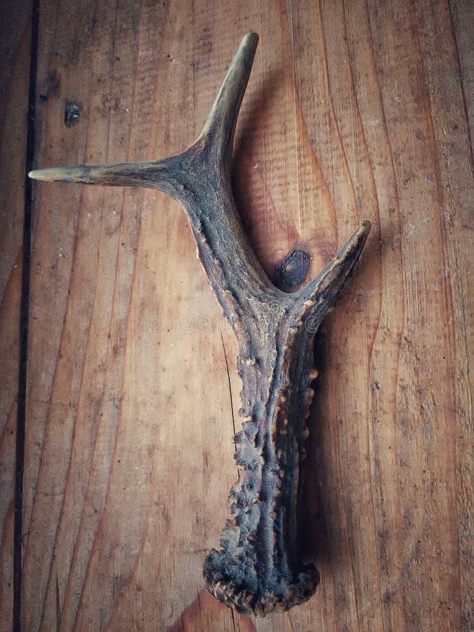 Chifre abandonado de um cervo pequeno imagem de stock royalty free