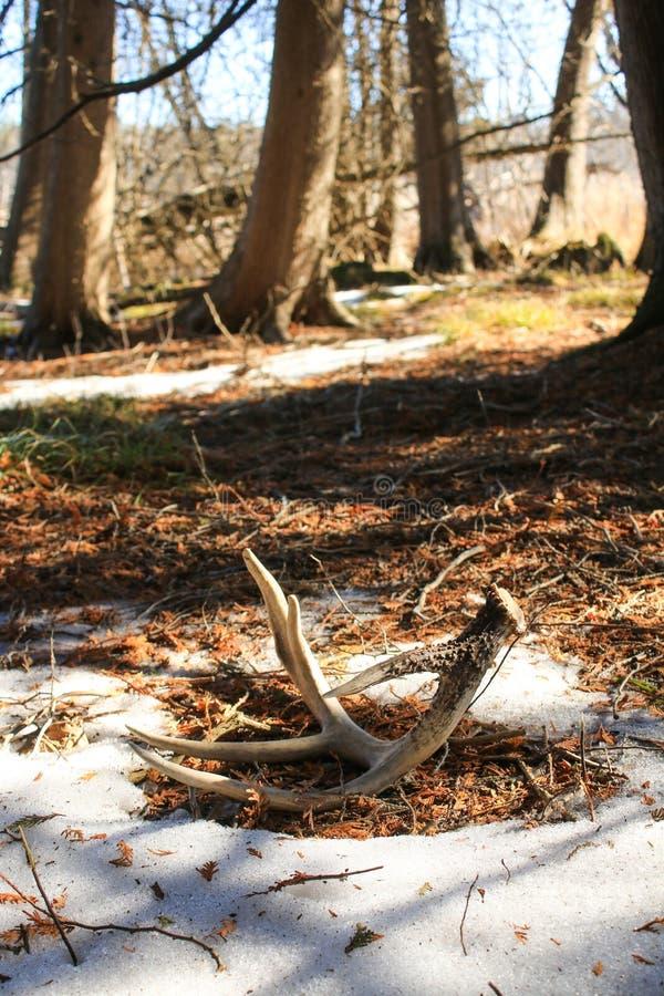 Chifre da vertente dos cervos de Whitetail na terra na floresta imagem de stock