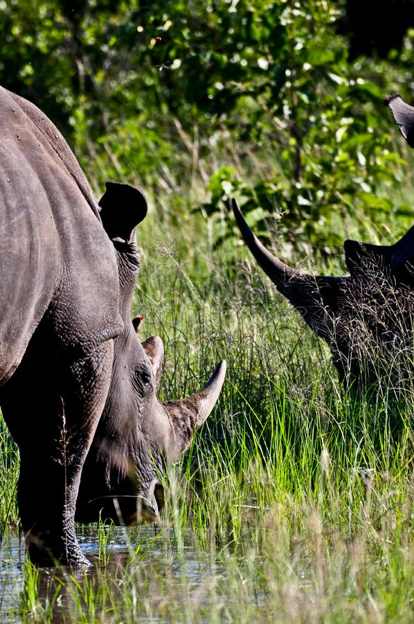 Chifres do rinoceronte