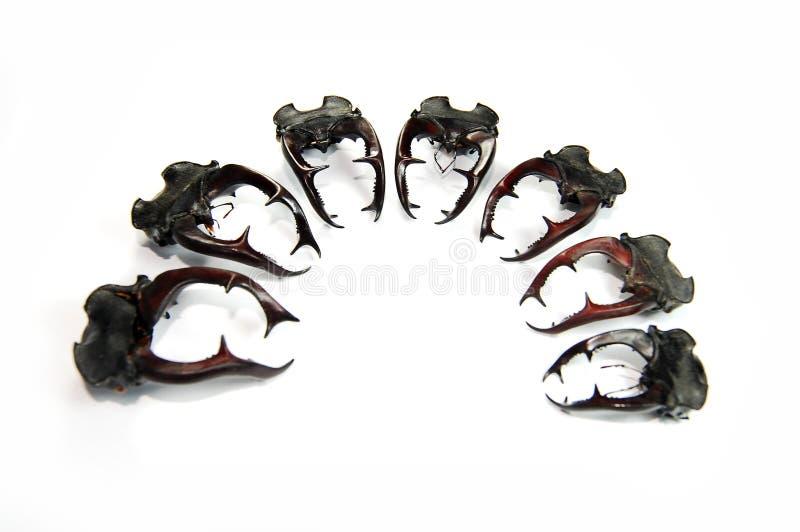 Chifres dos besouros de veado fotos de stock