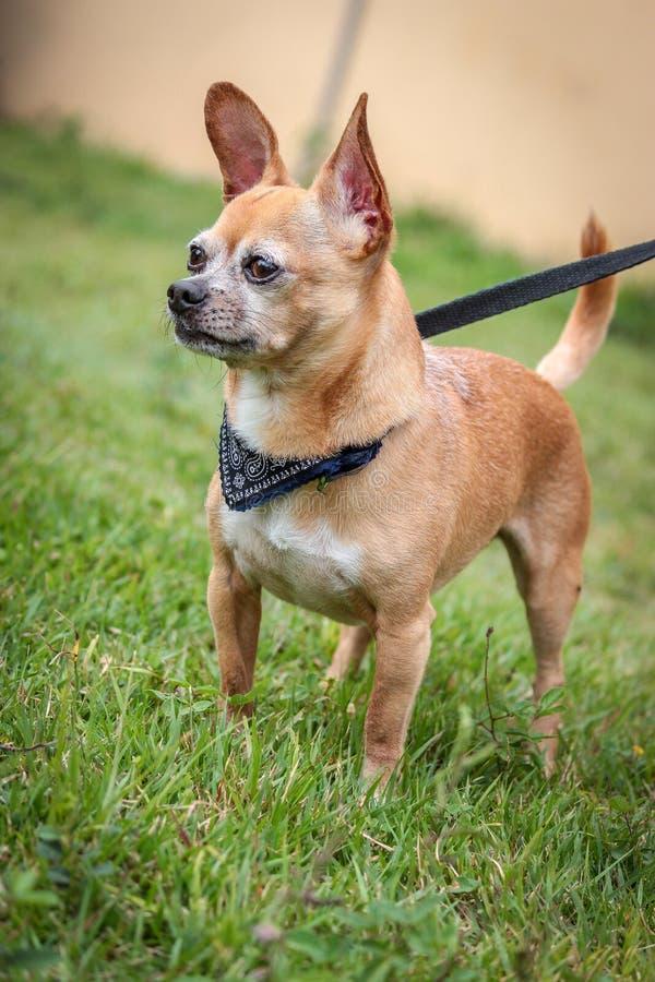 Chiguagua-Hund lizenzfreie stockfotografie