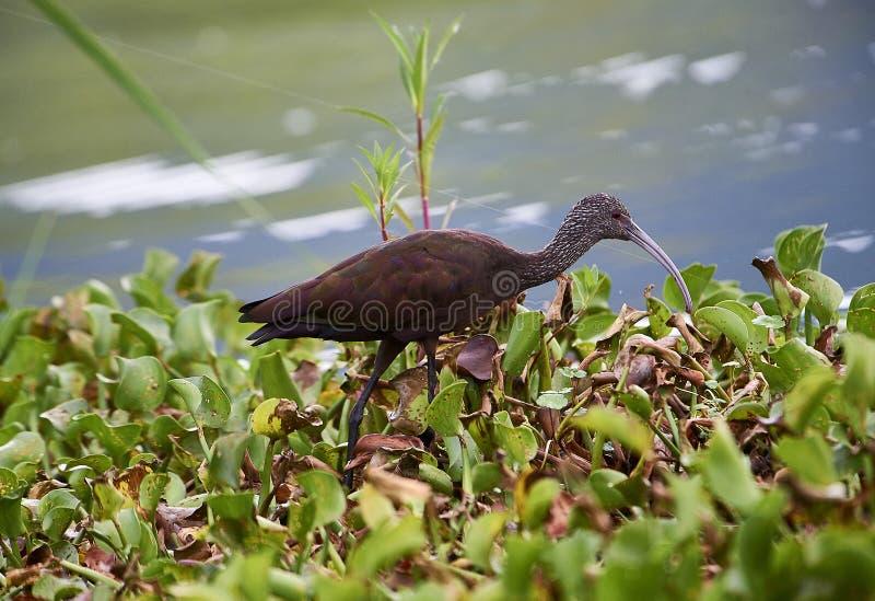 Chihi au visage pâle d'IBIS Plegadis forageant le long du bord du lac Chapala photos stock