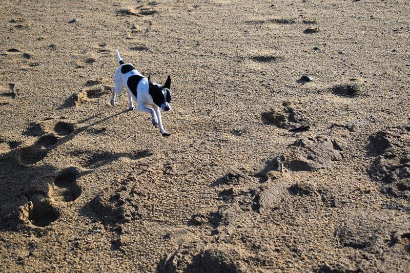 Chihuaha собаки стоковые фотографии rf