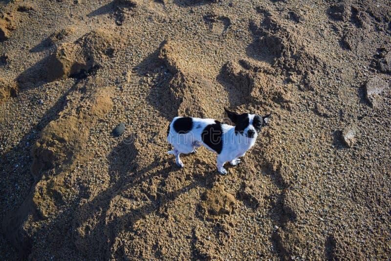 Chihuaha собаки стоковое фото rf