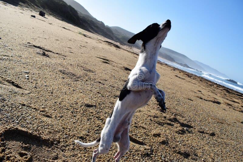 Chihuaha собаки стоковое фото