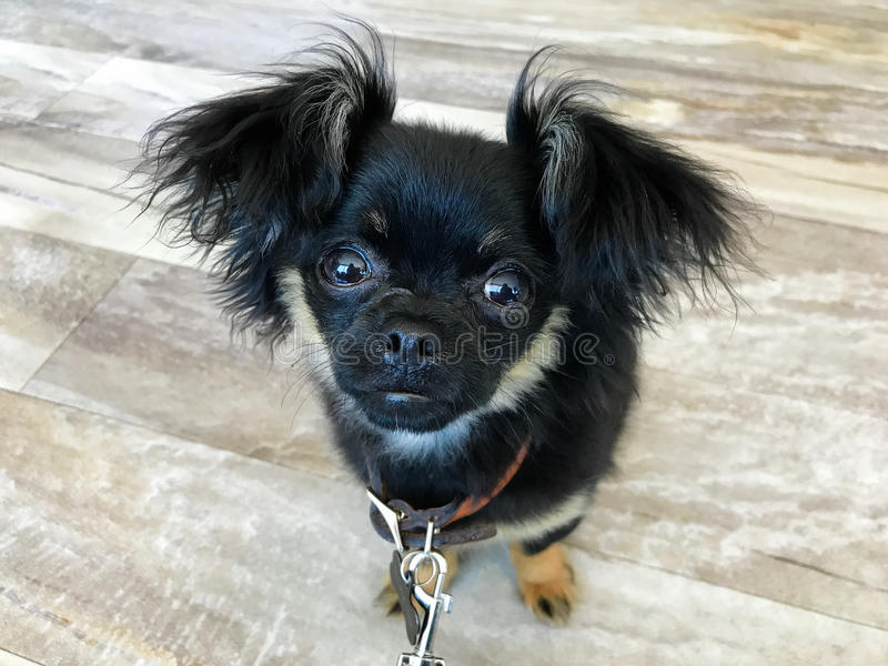 Chihuahua και κουτάβι μιγμάτων Pekingese στοκ εικόνα με δικαίωμα ελεύθερης χρήσης