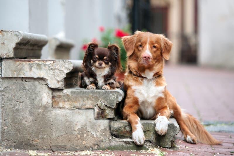 Chihuahua και toller σκυλιά που θέτουν μαζί στα βήματα στοκ φωτογραφία με δικαίωμα ελεύθερης χρήσης