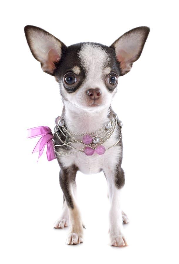 Chihuahua κουταβιών στοκ φωτογραφίες
