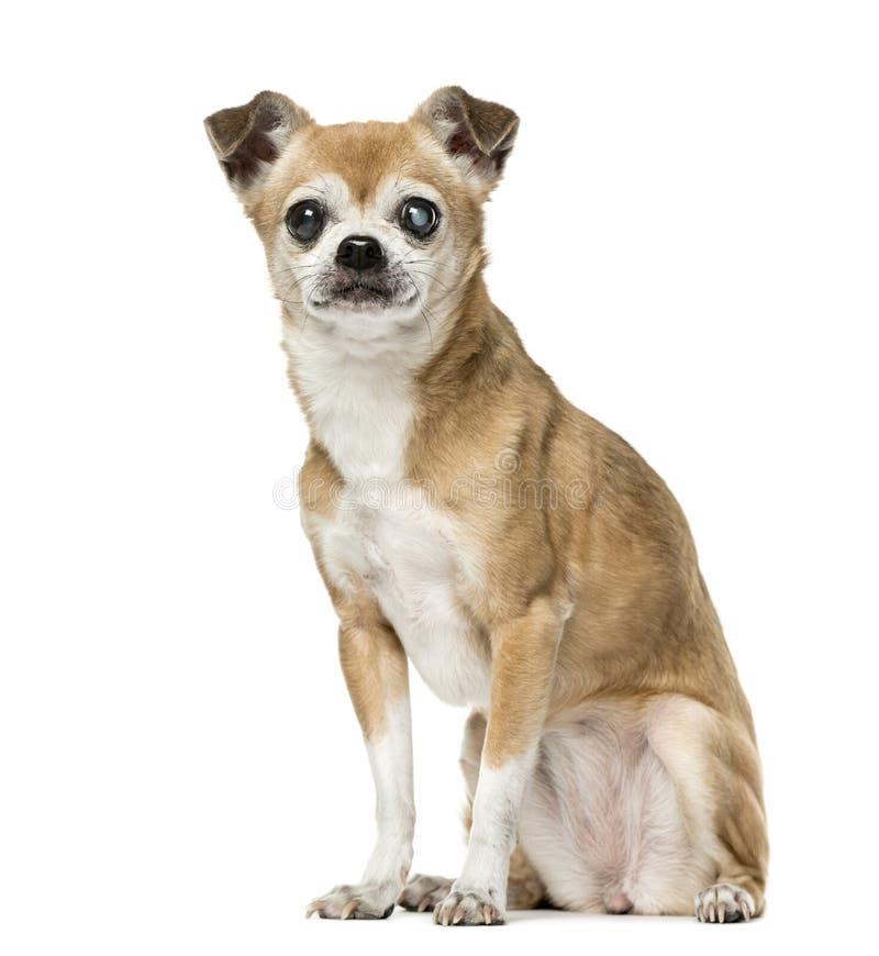 Chihuahua με τη συνεδρίαση ασθενειών ματιών, 12 χρονών στοκ φωτογραφία με δικαίωμα ελεύθερης χρήσης