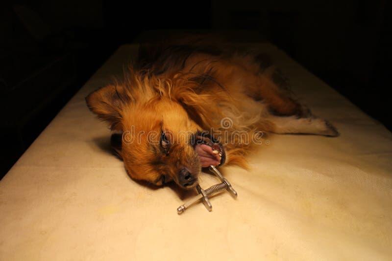 Chihuahua στην αναισθησία με το οδοντικό στοματικό φίμωμα στοκ εικόνες