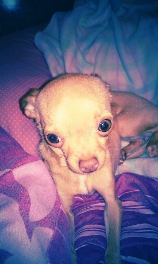Chihuahua φλυτζανών τσαγιού στοκ φωτογραφίες με δικαίωμα ελεύθερης χρήσης