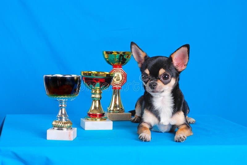 Chihuahua 04 fotografia de stock
