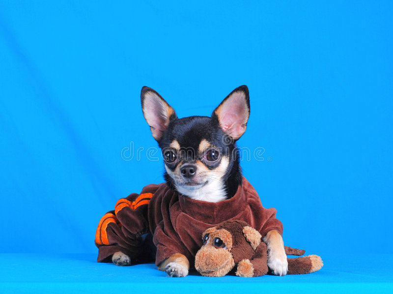 Chihuahua 05 imagens de stock royalty free