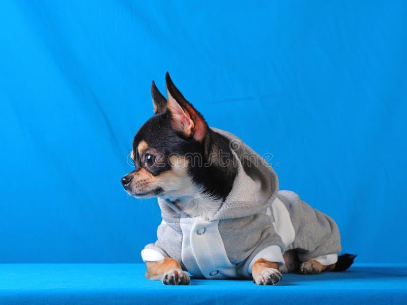 Chihuahua 09 fotos de stock royalty free