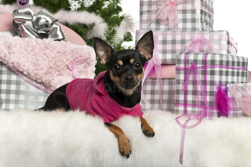Chihuahua, 1 Year Old, Lying With Christmas Stock Image