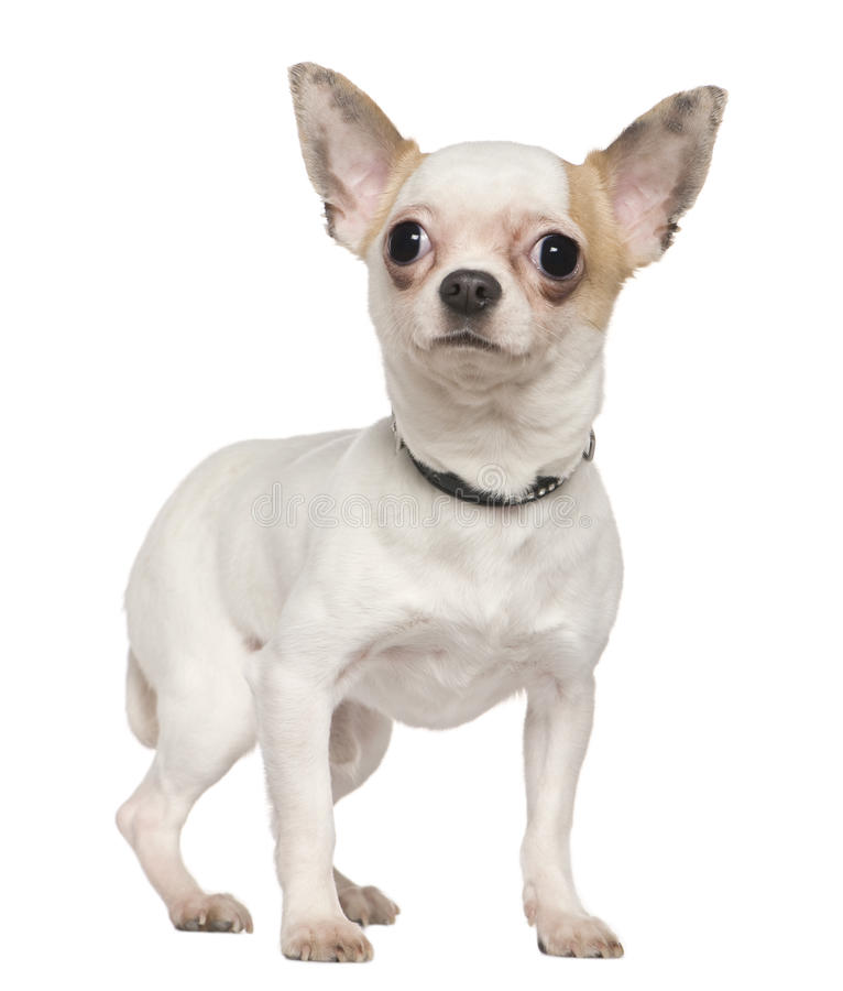 Download Chihuahua, 1 Year Old, Standing Stock Image - Image: 15360773