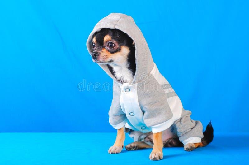 Chihuahua 10 imagem de stock royalty free