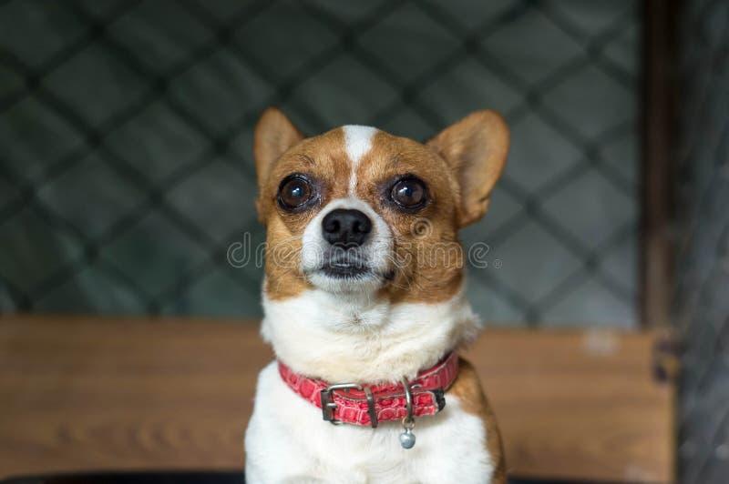 Chihuahua royaltyfri bild