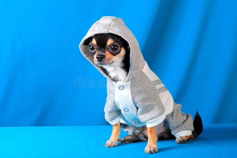 Chihuahua 11 imagens de stock royalty free