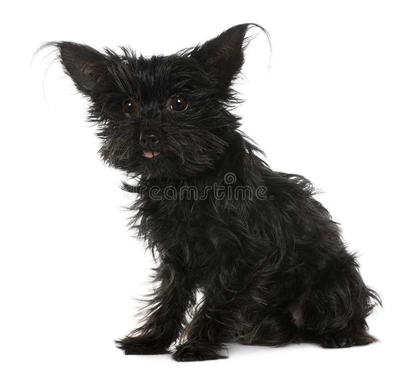 Chihuahua, 11 años, con el pelo tousled imagen de archivo