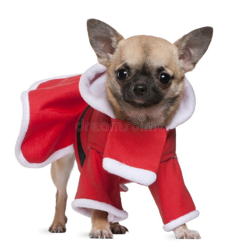 Download Chihuahua, 11 Months Old, In Santa Outfit Stock Image - Image: 17597459