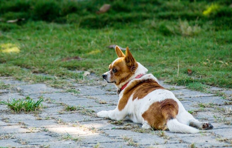 Chihuahua arkivbild