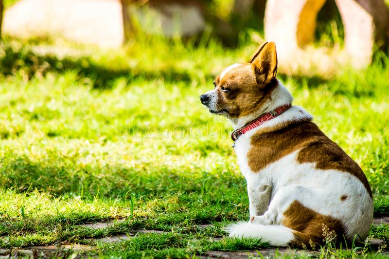 Chihuahua royaltyfria bilder