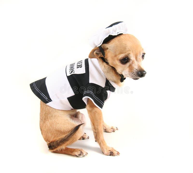 Chihuahua royalty free stock photo