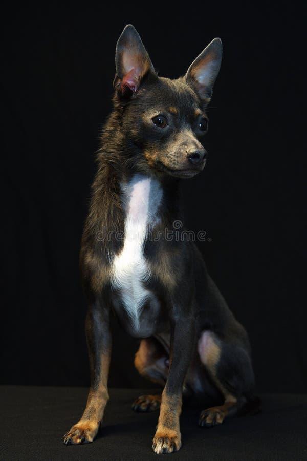 Chihuahua fotografía de archivo libre de regalías
