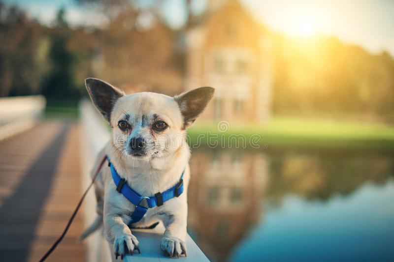 Little Chihuahua dog. Photo of a Little Chihuahua dog royalty free stock photography