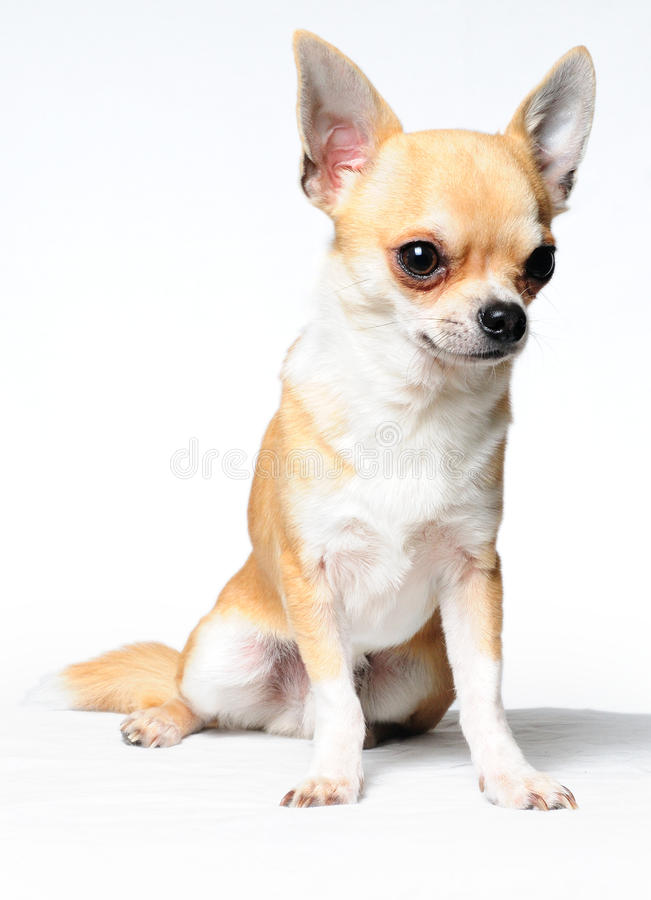 Free Chihuahua Royalty Free Stock Photo - 15955315