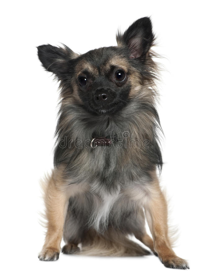 Download Chihuahua, 2 And A Half Years Old, Sitting Stock Photo - Image: 23087690